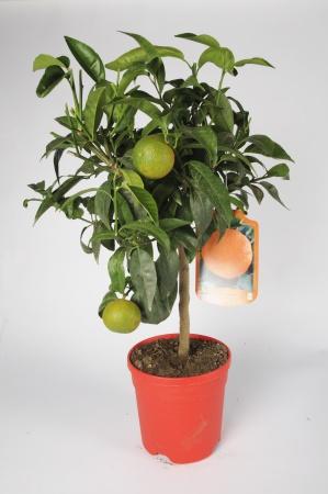 Citrus Clementine 70/90cm x D20