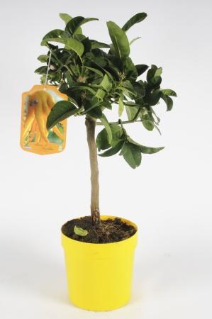 Citrus Digitata Main de Budha 60/70cm x D18