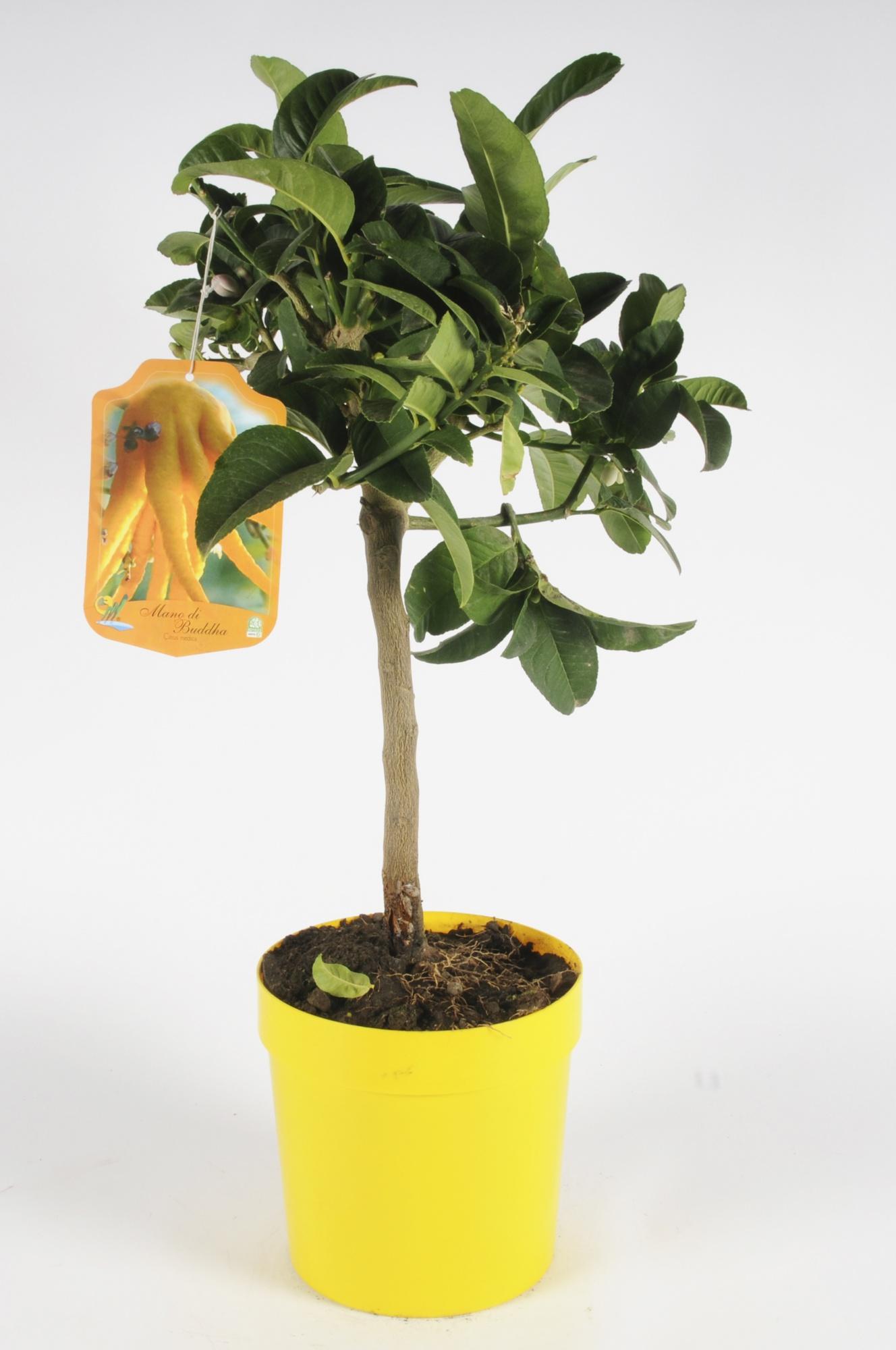Citrus Digitata Main de Budha 70/90cm x D20