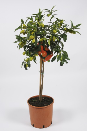 Citrus Fortunella Kumquat 100/120cm x D24