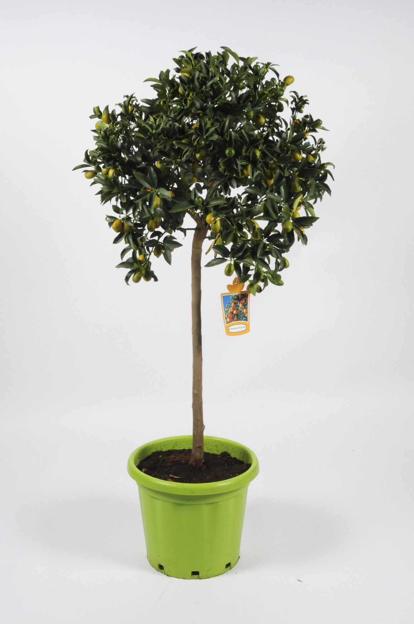 Citrus Fortunella Kumquat 160cm x D35
