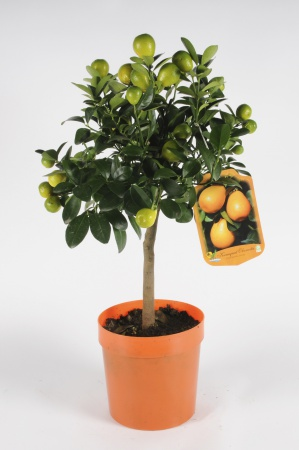 Citrus Fortunella Kumquat 70/90cm x D20