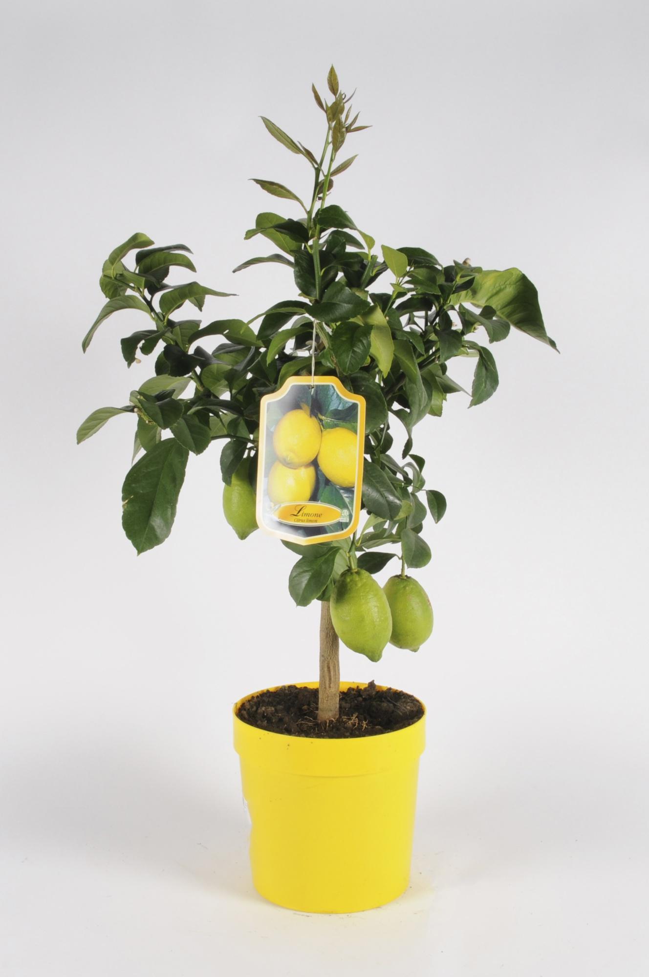 Citrus Lemon + Cachepot 70/90cm x D20