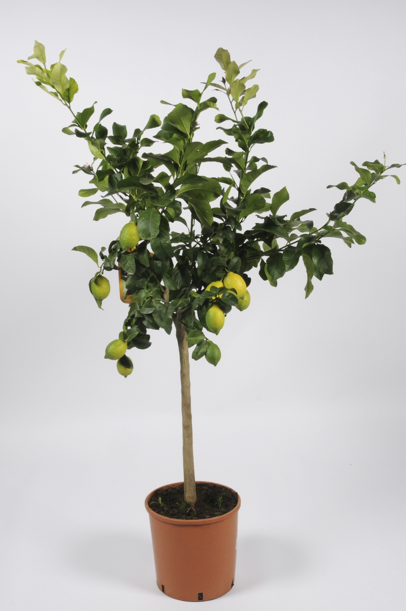 Citrus Lemon Tige 100/120cm x D24