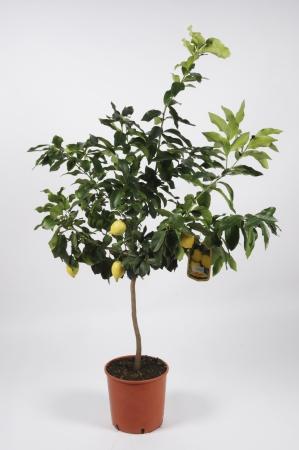 Citrus Lemon Tige 130cm x D28