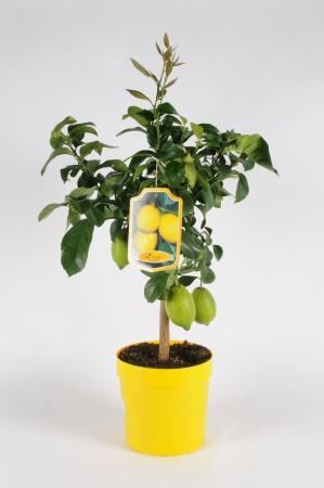 Citrus Lemon Tige 70/90cm x D22