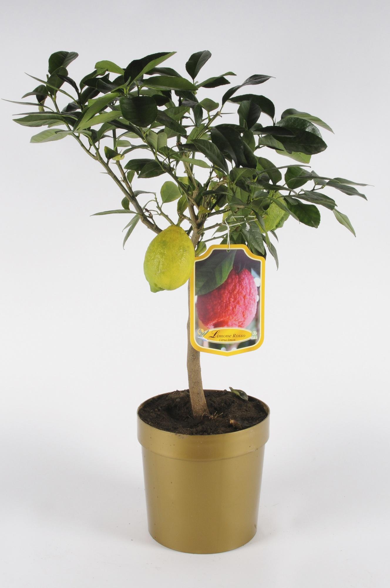 Citrus Limetta Rossa 70/90cm x D20