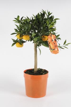 Citrus Mandarinier 70/90cm x D20