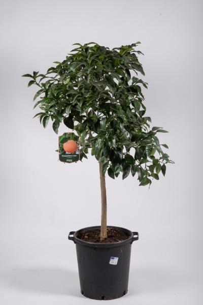 Citrus Pamplemousse 160cm x D35