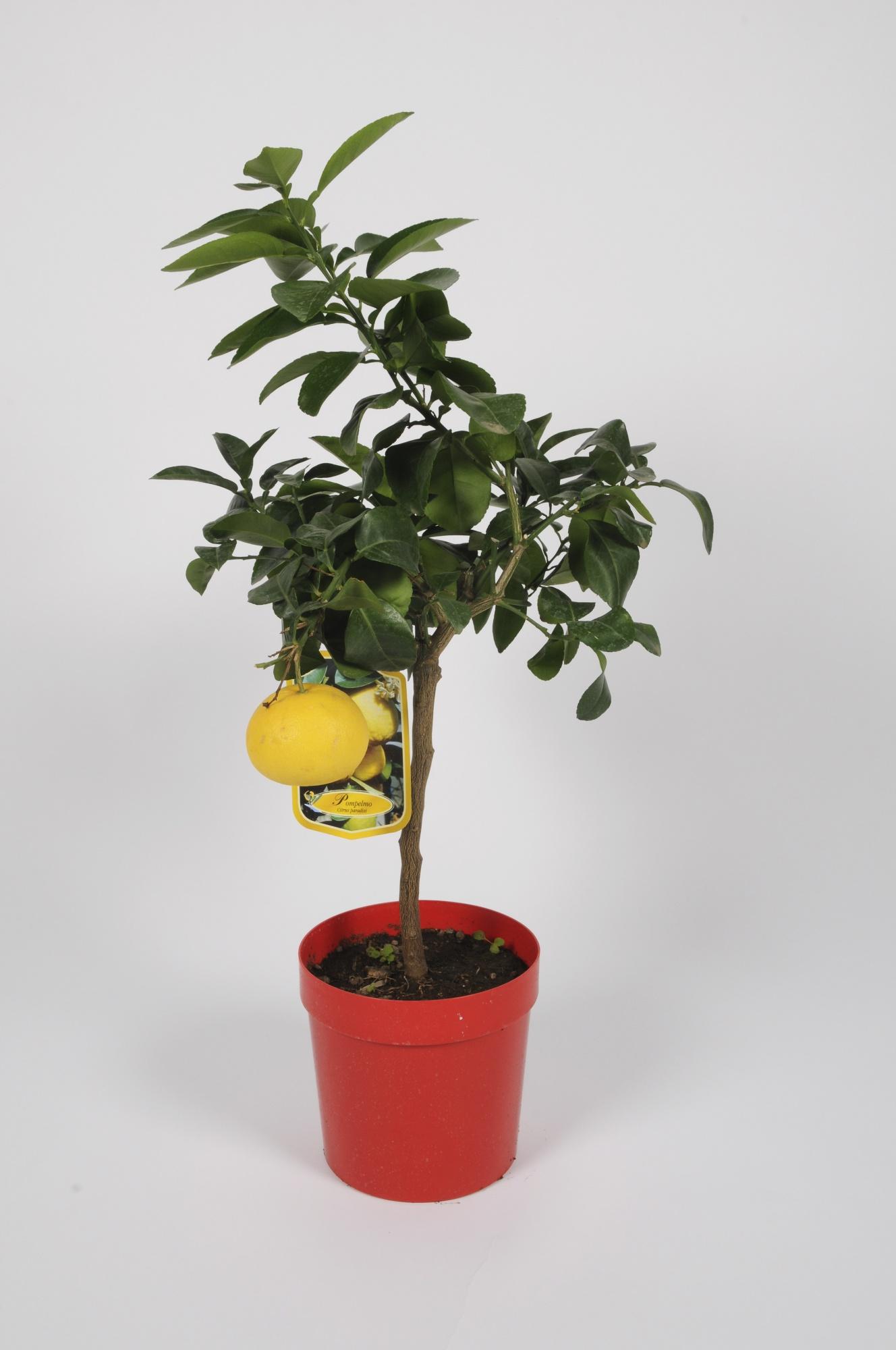 Citrus Pamplemousse 70/90cm x D20
