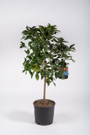 Citrus Sinensis Orange 130cm x D28
