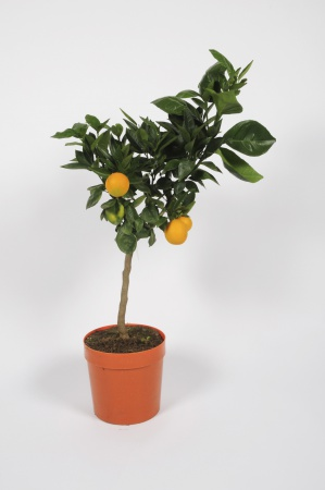 Citrus Sinensis Orange 70/90cm x D20