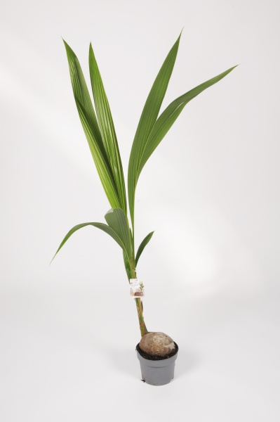 Cocos Nucifera 150cm x D19