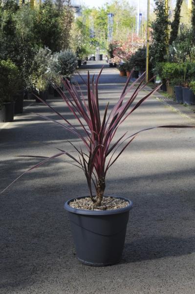 Cordyline Australis Cherry Sensation 70L x 10L