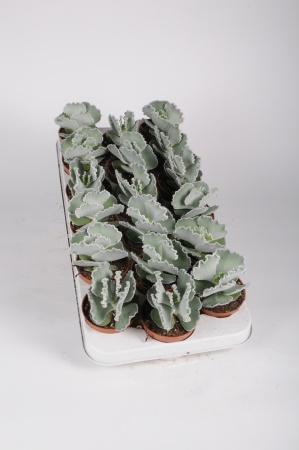 Cotyledon Undulata 15cm x D9