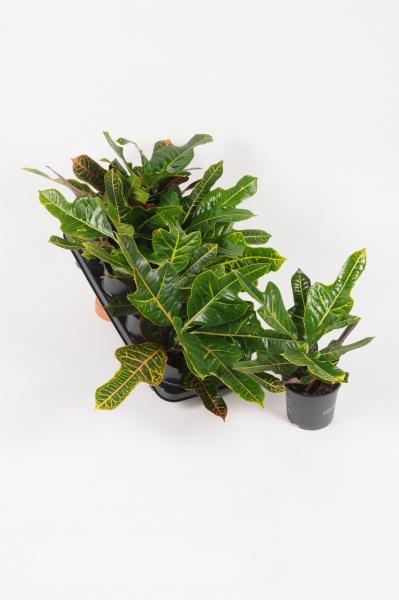 Croton Excellent 35cm x D13
