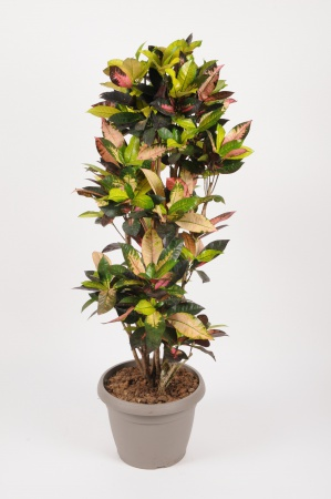 Croton Iceton 135cm x D30