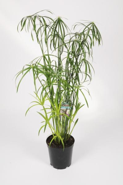 Cyperus Aternifolius 130cm x D23