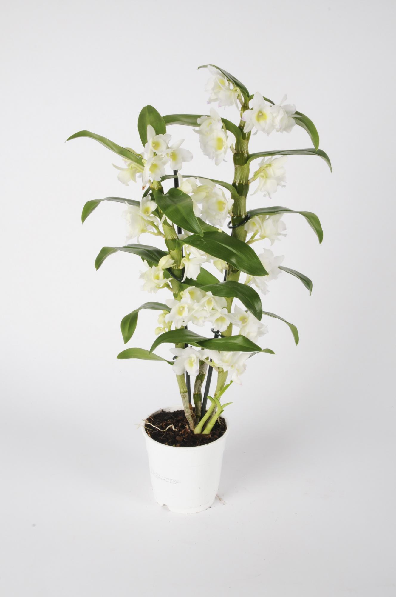Dendrobium Nobillé Apollon 55cm x D12