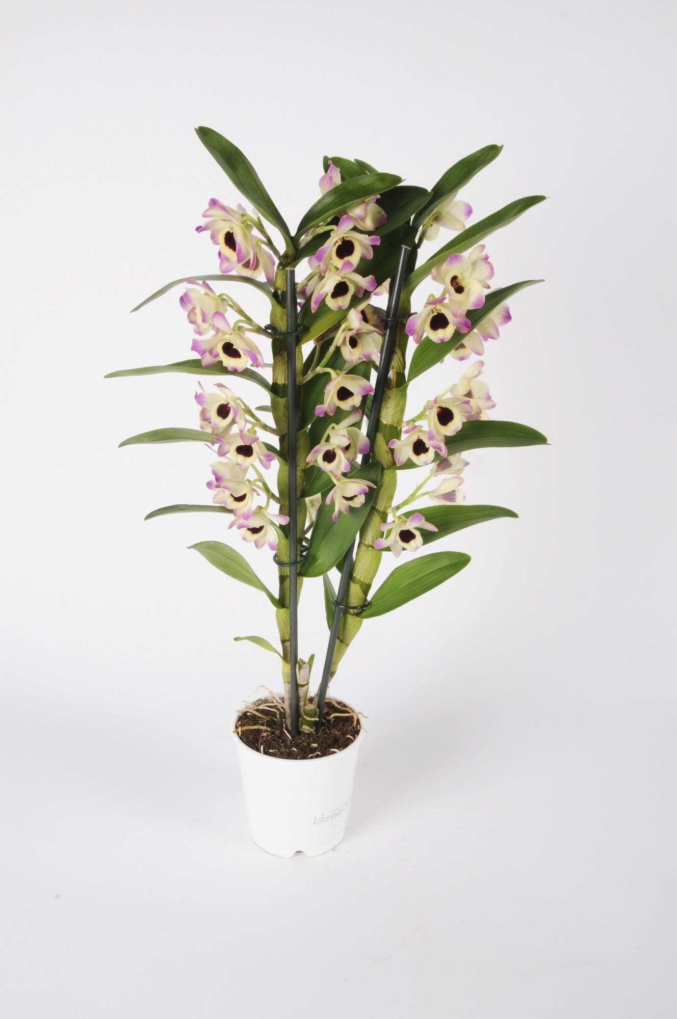 Dendrobium Nobillé Cultivar 50cm x D12