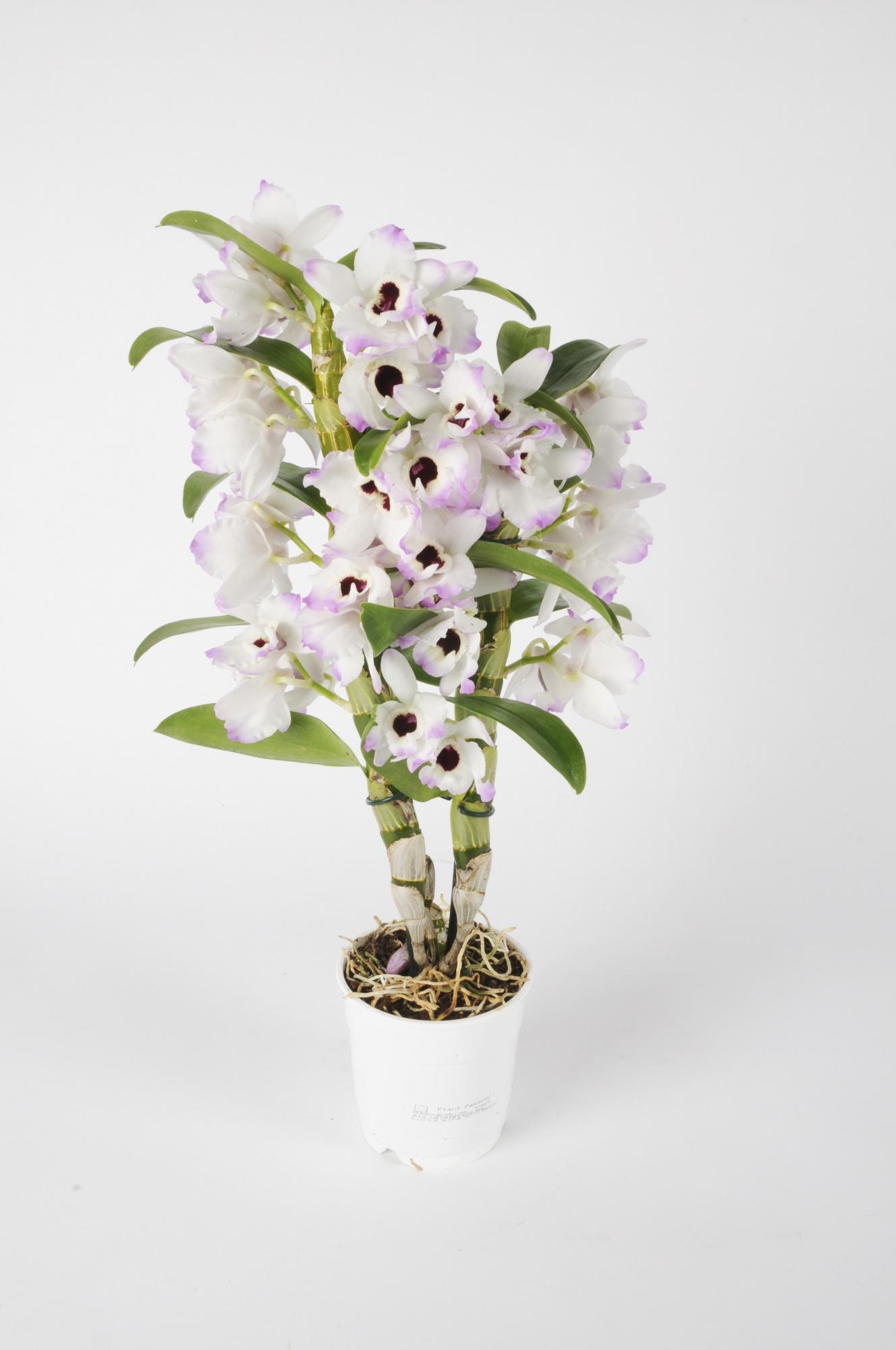Dendrobium Nobillé Cultivar 55cm x D12