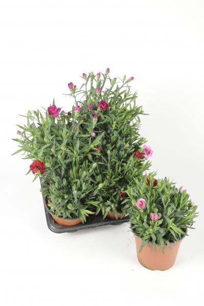 Dianthus 30cm x D14