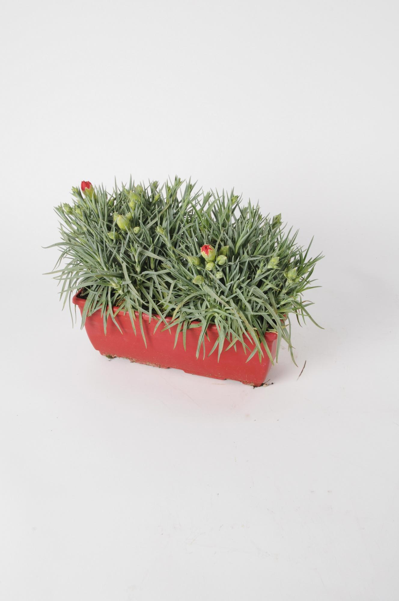Dianthus Jardinière 26cm x D28