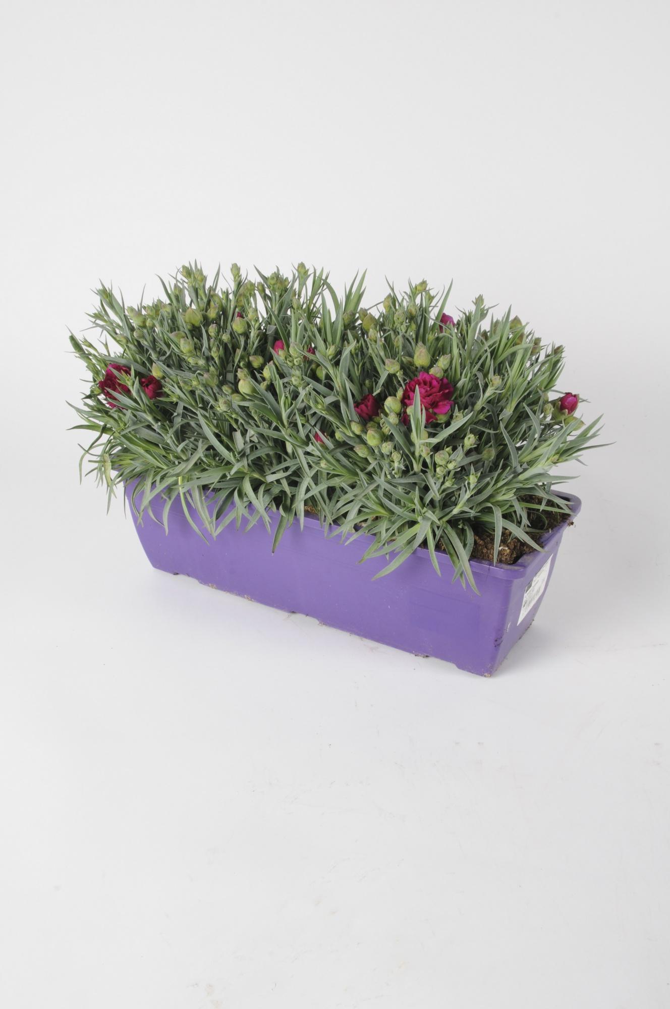 Dianthus Jardinière 32cm x D40