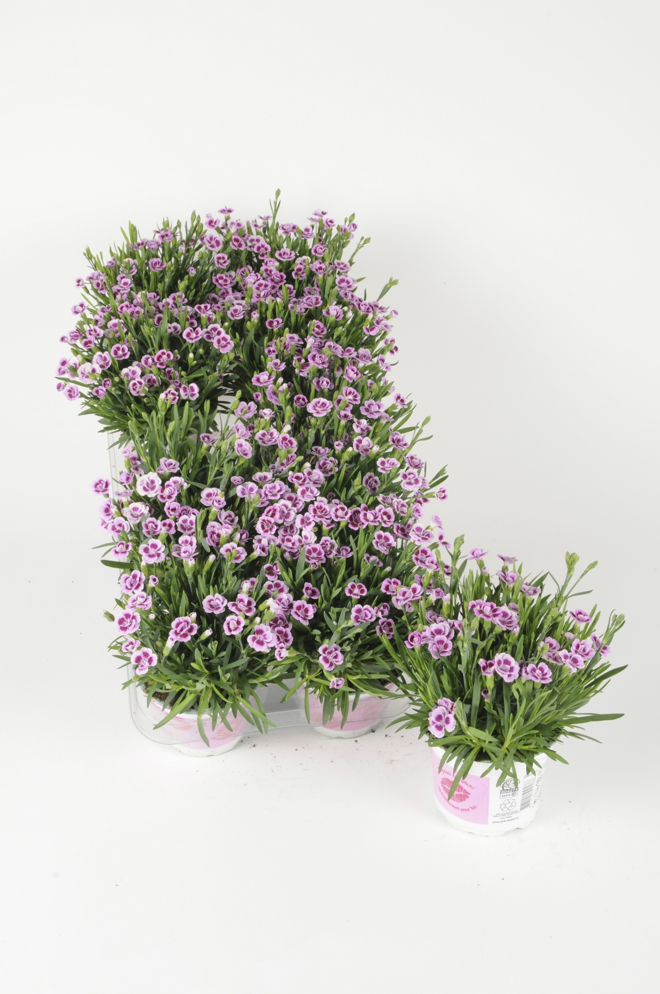 Dianthus Pink Kisses 25cm x D10