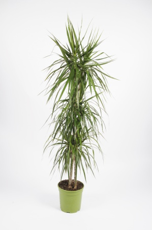 DRACAENA Marginata 90-60-30cm-D21
