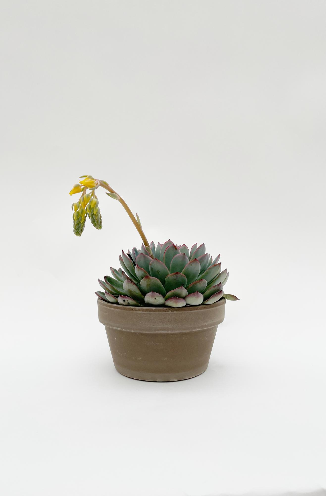 Echeveria Species 20cm x D17