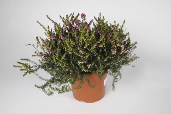 Erica Darlyensis 38cm x D21