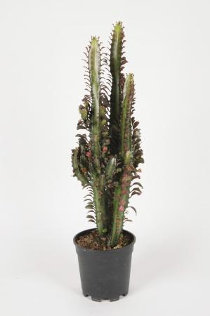 Euphorbia Trigona 75cm x D17