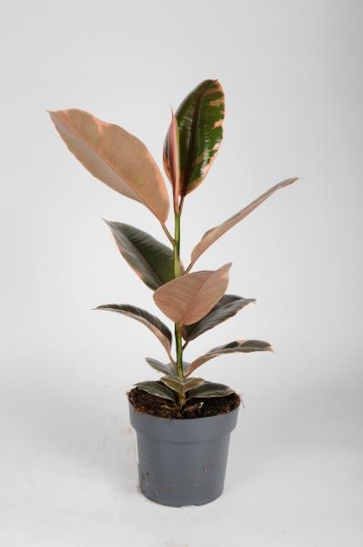 Ficus Elastica Belize 60cm x D17