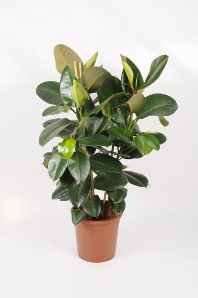 Ficus Elastica Robusta 125cm x D30