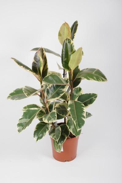Ficus Elastica Tineke 100cm x D27