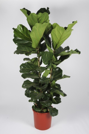 Ficus Lyrata 160cm x D30
