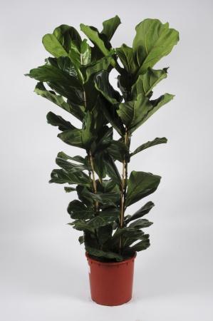 FICUS Lyrata 190cm-D36