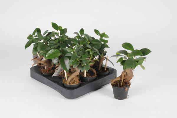 Ficus Microcarpa 20cm x D6