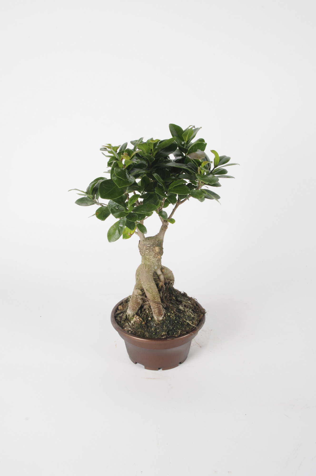 Ficus Microcarpa 40cm x D17