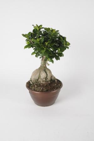 Ficus Microcarpa 50cm x D20