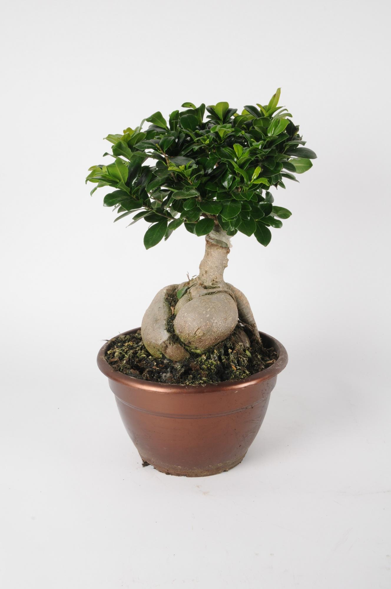 Ficus Microcarpa 55cm x D25