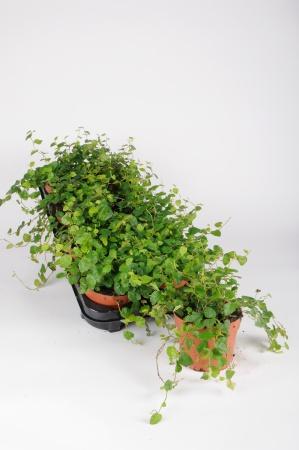 Ficus Pumila Sunny Green 18cm x D12