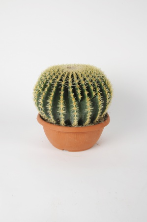 Grusonii Intermedio 35cm x D24