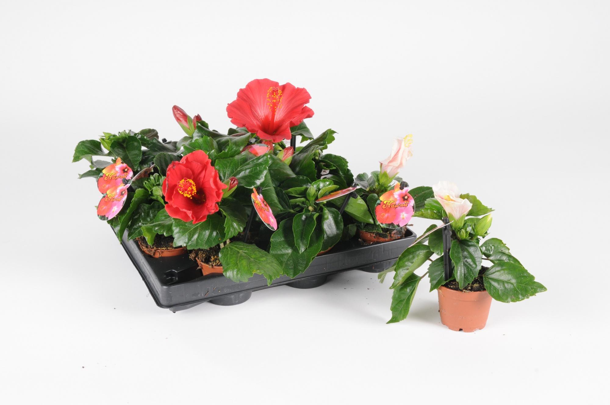 Hibiscus Rosa Sinensis 15cm x D6