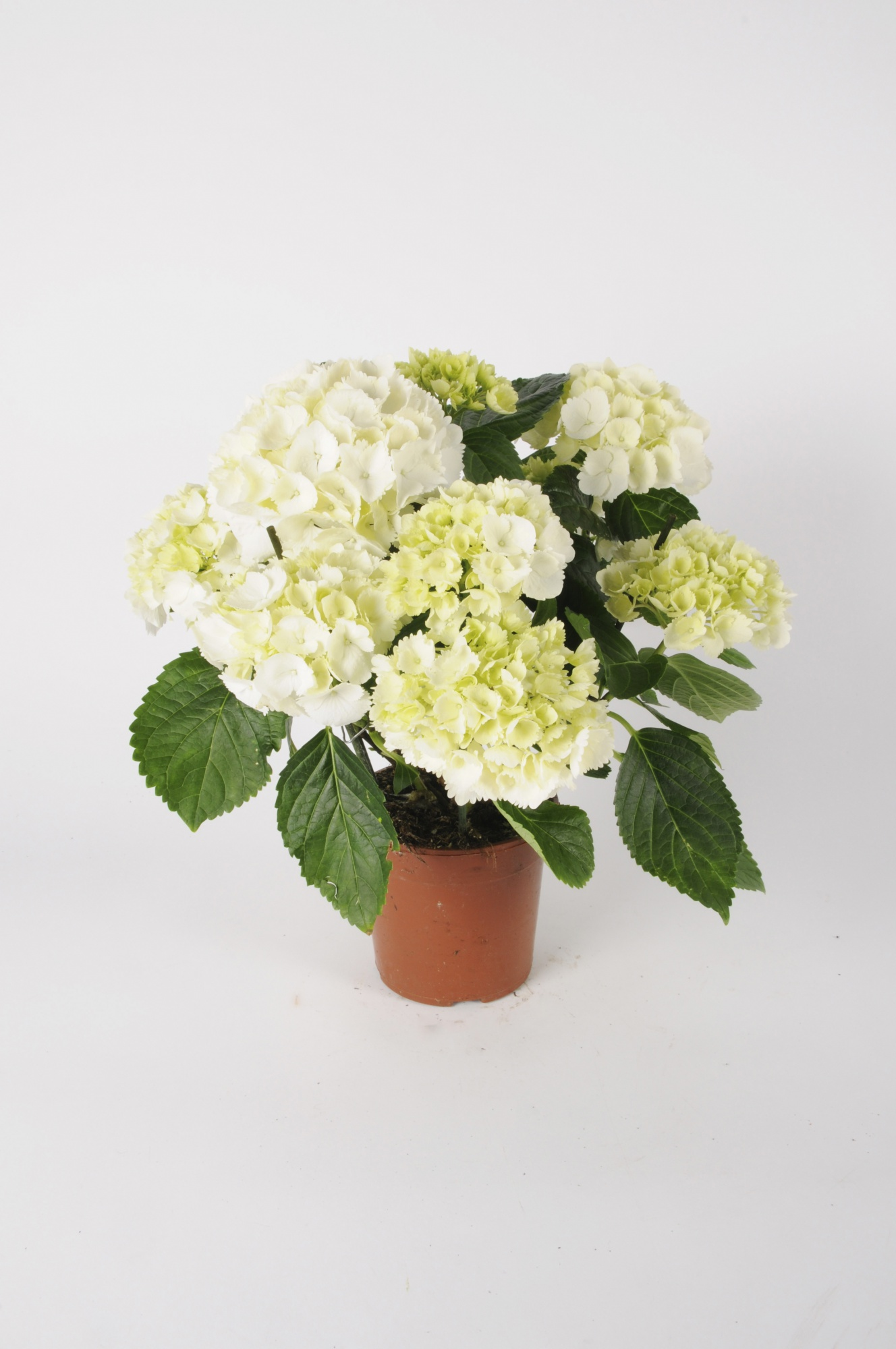 Hortensia Early Blanc 40cm x D13