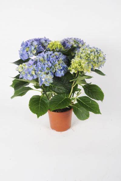 Hortensia Early Blue 40cm x D13