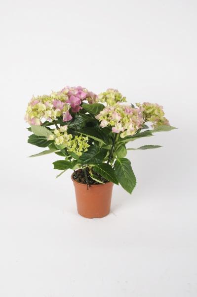 Hortensia Early Rose 40cm x D13