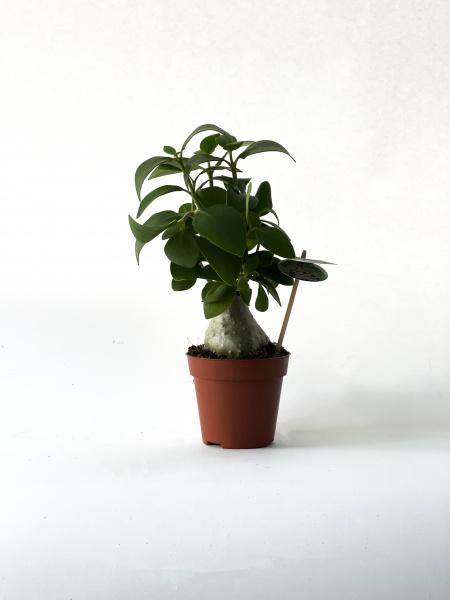 Hydnophytum Papuanum 40cm x D14