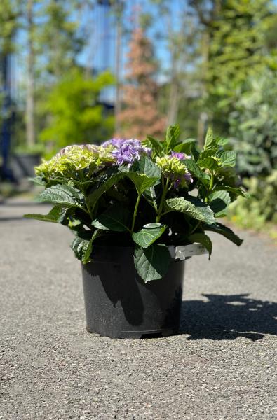 Hydrangea Macrophylla 30cm x 10L